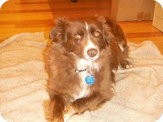 Australian Shepherd Dog for adoption in Westport, Connecticut - Red