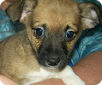 Chihuahua/Jack Russell Terrier Mix Puppy for adoption in Mt Sterling, Kentucky - Collin
