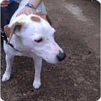 Adopt A Pet :: Bobby in Houston - Houston, TX