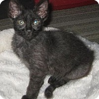 Adopt A Pet :: Saltine - Dallas, TX