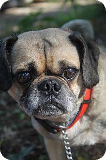 Pug Mix Dog for adoption in Waldorf, Maryland - Ludwig