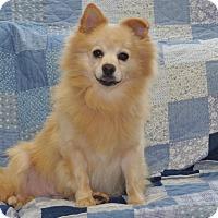 Adopt A Pet :: Pomi - Tumwater, WA