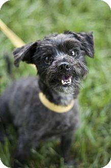Shih Tzu/Scottie, Scottish Terrier Mix Dog for adoption in Indianapolis, Indiana - Buzz