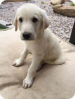 Great Pyrenees/Golden Retriever Mix Puppy for adoption in Chandler, Arizona - Dumbledore