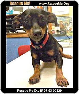 Miniature Pinscher/Dachshund Mix Dog for adoption in Columbus, Kansas - Chomper