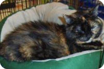 Domestic Shorthair Cat for adoption in Bear, Delaware - Katrina