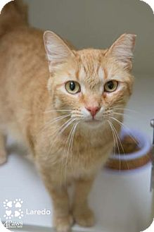 Domestic Shorthair Cat for adoption in Merrifield, Virginia - Laredo