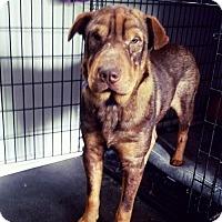 Adopt A Pet :: Lucco - Alpharetta, GA