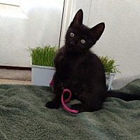 Domestic Mediumhair Kitten for adoption in Scottsdale, Arizona - Leia