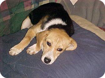 Beagle Dog for adoption in Cantonment, Florida - Olivia