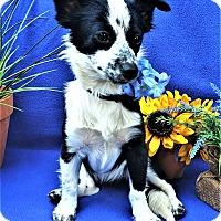 Adopt A Pet :: Bella Blue - Irvine, CA