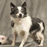 Adopt A Pet :: KOBE - Cashiers, NC