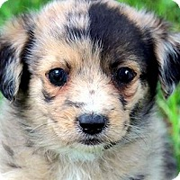 Adopt A Pet :: CHECKERS(WOW! GORGEOUS PUPPY! - Wakefield, RI