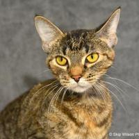 Adopt A Pet :: Brie - Neenah, WI