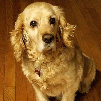 Cocker Spaniel Dog for adoption in Parker, Colorado - Max Y 17-026