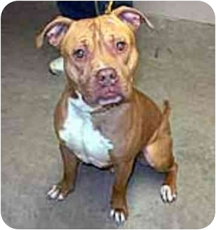 American Pit Bull Terrier Mix Dog for adoption in chicago, Illinois - Saungi