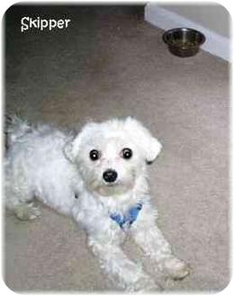 Maltese Mix Puppy for adoption in Dayton, Ohio - Skipper