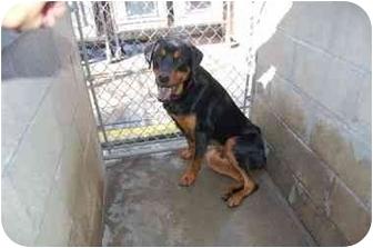 Rottweiler/Great Dane Mix Dog for adoption in Tracy, California - Deegan