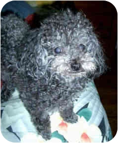 Poodle (Toy or Tea Cup) Dog for adoption in Proctorville, Ohio, Ohio - Kirby