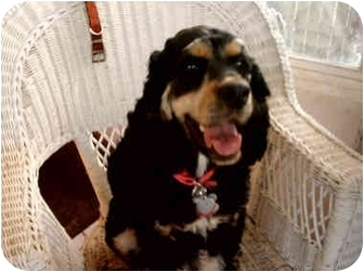 Cocker Spaniel Mix Dog for adoption in Mentor, Ohio - Samee 2yr Adopted