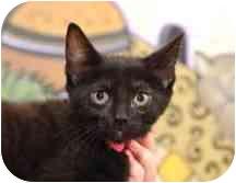 Domestic Shorthair Kitten for adoption in Dallas, Texas - Evie