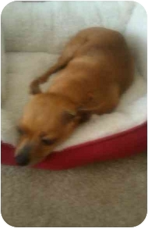 Chihuahua Mix Dog for adoption in San Angelo, Texas - Chanel