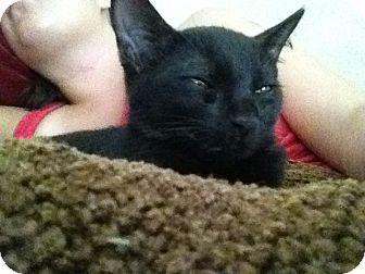 Domestic Shorthair Kitten for adoption in Boynton Beach, Florida - Blacky