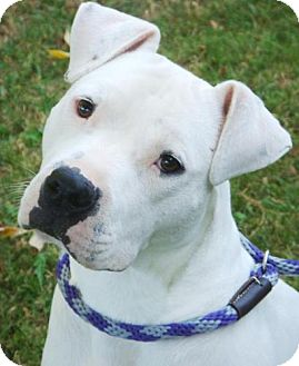 American Pit Bull Terrier Mix Puppy for adoption in Red Bluff, California - Casper