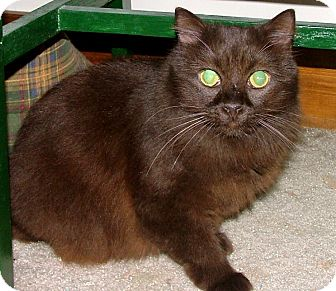 Havana Brown Cat for adoption in Chattanooga, Tennessee - Hershey