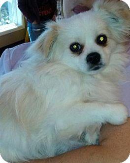 Pekingese Mix Dog for adoption in Mary Esther, Florida - Bristol