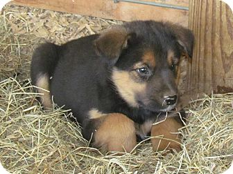 Australian Cattle Dog/Labrador Retriever Mix Puppy for adoption in Humboldt, Tennessee - BRADY
