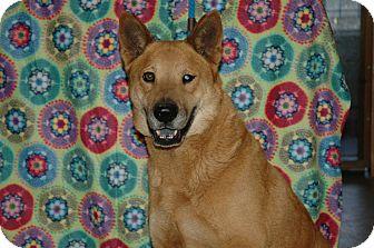 Chow Chow/Shepherd (Unknown Type) Mix Dog for adoption in San Antonio, Texas - Atlas