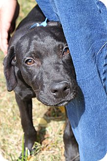 Labrador Retriever Mix Dog for adoption in Waldorf, Maryland - Flash