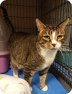 Domestic Shorthair Cat for adoption in New York, New York - Oscar
