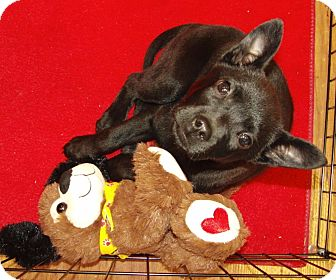 Pit Bull Terrier/Labrador Retriever Mix Puppy for adoption in Marion, Alabama - Spunky