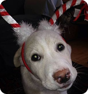 Labrador Retriever Mix Puppy for adoption in Stafford Springs, Connecticut - Rowdy