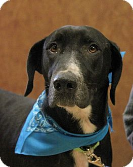Labrador Retriever Mix Dog for adoption in New Rochelle Humane, New York - Stacey
