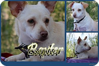 Chihuahua Mix Dog for adoption in Pittsburgh, Pennsylvania - Baxter