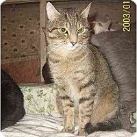 Domestic Shorthair Cat for adoption in Chapman Mills, Ottawa, Ontario - SUNDANCE