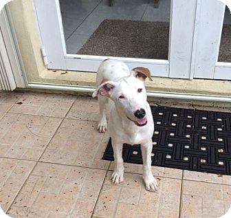 Bull Terrier/Terrier (Unknown Type, Medium) Mix Puppy for adoption in Palmetto Bay, Florida - Mandy
