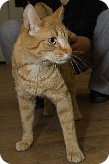 Domestic Shorthair Cat for adoption in Acushnet, Massachusetts - Creamsicle