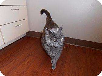 Domestic Shorthair Cat for adoption in Decatur, Georgia - Roscoe