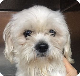 Maltese/Shih Tzu Mix Dog for adoption in Franklin, Tennessee - Trout