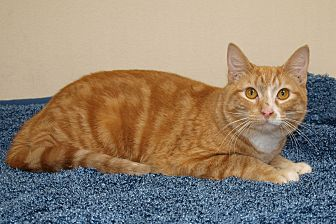 Domestic Shorthair Cat for adoption in Jackson, Mississippi - Cosmo