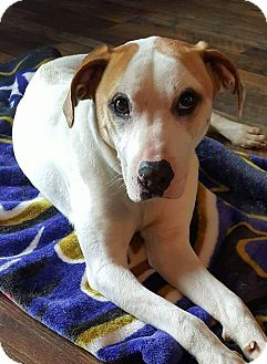 Labrador Retriever Mix Dog for adoption in WESTMINSTER, Maryland - Peetie