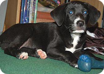 Labrador Retriever Mix Puppy for adoption in Libertyville, Illinois - Jack