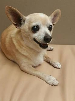 Chihuahua Mix Dog for adoption in Scottsdale, Arizona - Axel