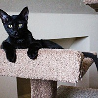 Domestic Shorthair Kitten for adoption in Flower Mound, Texas - Ray Ray
