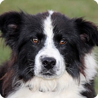 Adopt A Pet :: Bravo - Oliver Springs, TN