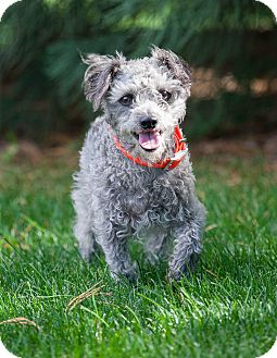 Poodle (Miniature) Mix Dog for adoption in Washoe Valley, Nevada - Walter